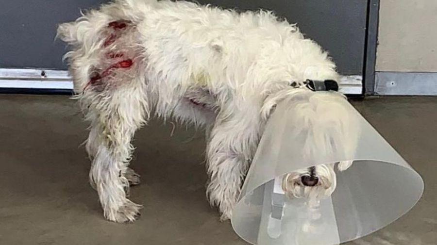 perro atacado por carpincho