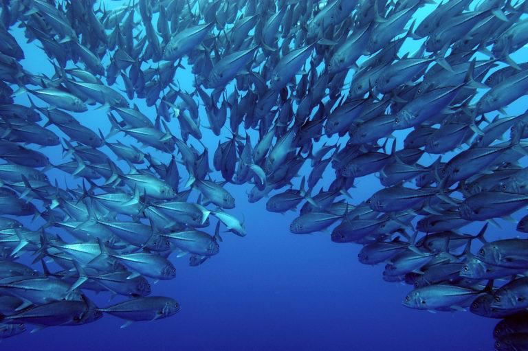 Fish swimming in Eastern Tropical Pacific Seascape, Cocos Island, Costa Rica