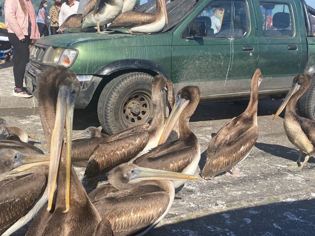 pelicanos-talcahuano